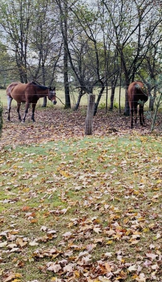 A good fall activity is to take a country drive, like this to Waterford where horses graze among the colored leaves falling off the trees.
